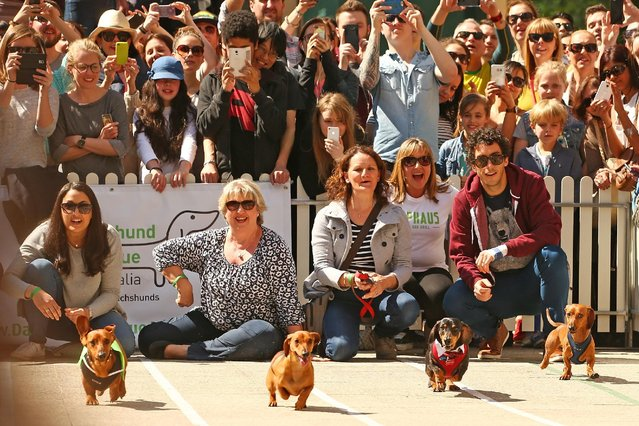 A general view as dachshunds compete in the Hophaus Southgate Inaugural Dachshund Running of the Wieners Race on September 19, 2015 in Melbourne, Australia. (Photo by Scott Barbour/Getty Images)