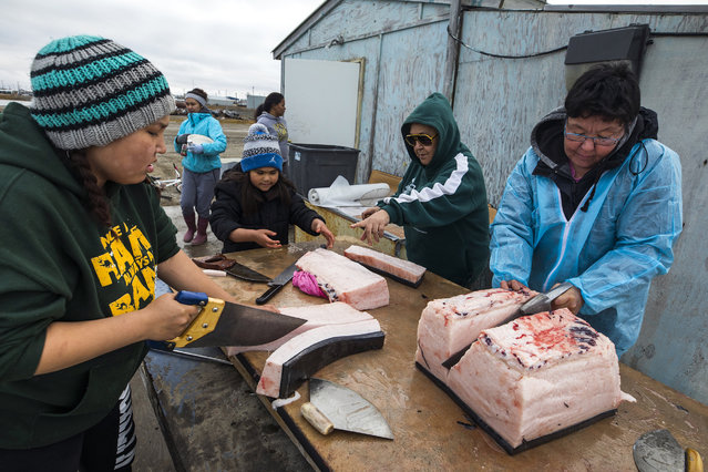 Residents saw pieces of bowhead whale, harvested legally by whalers during their annual subsistence hunt, in the Inupiat village of Kaktovik, Alaska, USA, 09 September 2017. The hunt is deemed vital for the community, providing thousands of pounds of food as well as a direct link to the Inupiat's cultural identity. As climate change diminishes their natural habitat, polar bears are turning Kaktovik into their very own sanctuary city. (Photo by Jim Lo Scalzo/EPA/EFE)