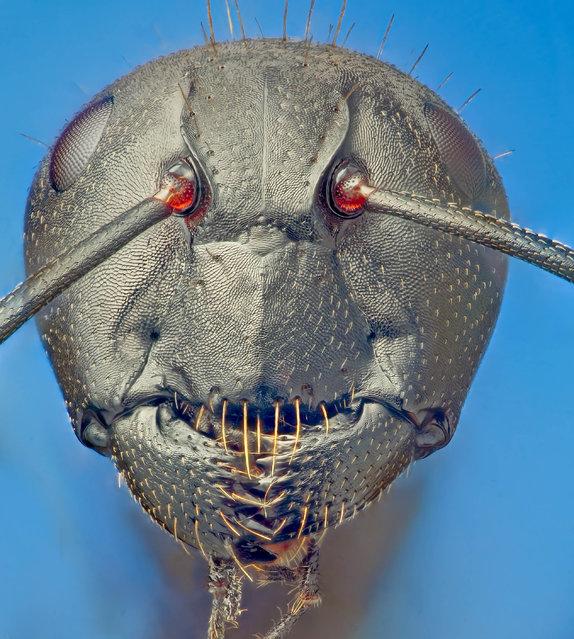Camponotus vagus (Scopoli, 1763). (Andrea Hallgass)