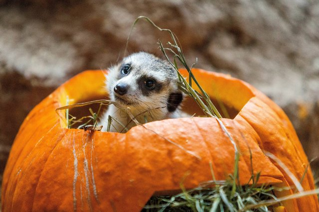 Meerkats chomp and romp with Halloween spirit during Woodland Park Zoo's annual Pumpkin Bash Thursday, October 16, 2014, at Woodland Park Zoo in Seattle, Washington. Pumpkin Bash is held Saturdays-Sundays, Oct. 18-19, 25-26 and Friday, Oct. 31. (Photo by Jordan Stead/AP Photo)