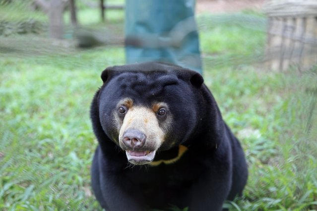 A sun bear plays inside an enclosure at the Vietnam Bear Rescue Centre, which is operated by international organization Animals Asia, in Tam Dao national park, about 70 kms from Hanoi, Vietnam, 05 November 2014. Four new semi- natural encloses for bears were officially opened on 05 November 2014, with capacity of up to 80 bears. Animals Asia has rescued more than 500 bears in Vietnam and China, according to media reports. (Photo by Luong Thai Linh/EPA)