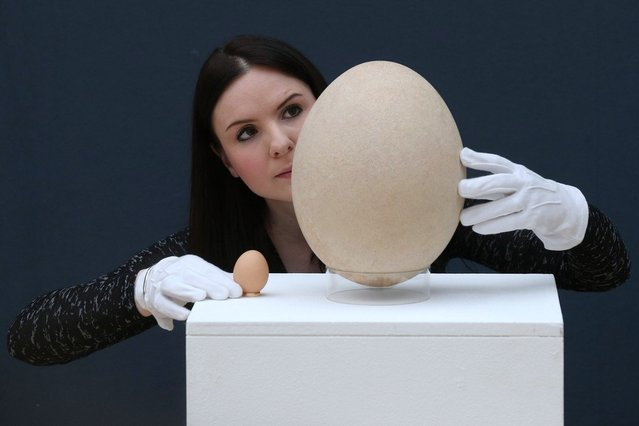 """An employee at Christie's auction house examines a complete sub-fossilised elephant bird egg, next to a chicken's egg, on March 27, 2013 in London, England. The elephant bird egg is expected to fetch 30,000 GBP when it features in Christie's """"Travel, Science and Natural History"""" sale, which is to be held on April 24, 2013 in London.  (Photo by Oli Scarff)"""