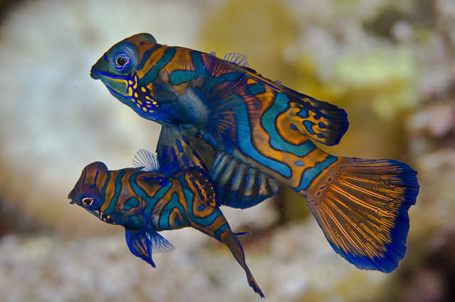 A pair of mandarinfish rise off of the reef below into the water column as they spawn. Mating occurs close to sunset if a male, the larger s*x, is able to successfully woo a willing female. These marine jewels occur over a wide swath of the Indo-Pacific. (Photo by Marty Snyderman/Caters News Agency)
