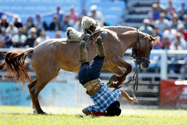 A gaucho is unseated by an untamed horse during the Creole week celebrations in Montevideo, Uruguay on March 26, 2018. (Photo by Andres Stapff/Reuters)
