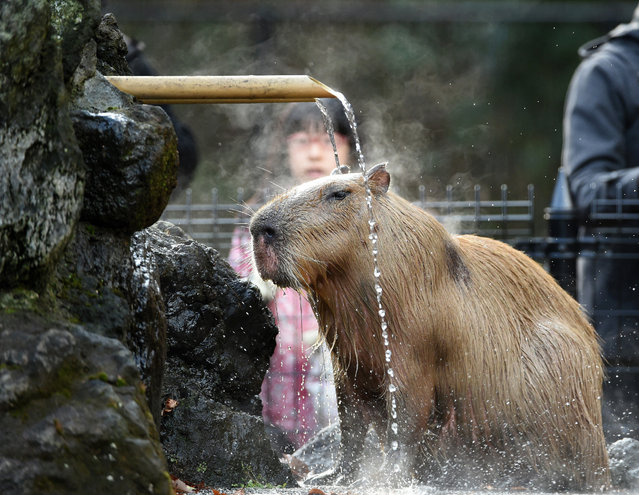 A Capybara bathes in the hot spring water at the Saitama Children's zoo in Higashi Matsuyama city, Saitama prefecture on December 21, 2014. Seven capybaras in the zoo, originally from South America, enjoyed the hot spring water on the chilly winter day in Japan. (Photo by Toshifumi Kitamura/AFP Photo)