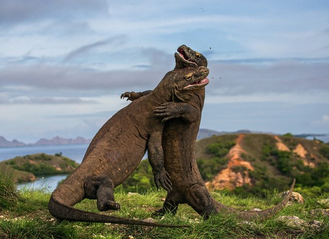 Komodo Judo by Andrey Gudkov. Finalist, Amphibians & Reptiles. Two large male Komodo dragons hissing angrily at each other in Indonesia's Komodo national park. Komodo dragons can grow up to 8ft. (Photo by Andrey Gudkov/Wildlife Photographer of the Year 2015)