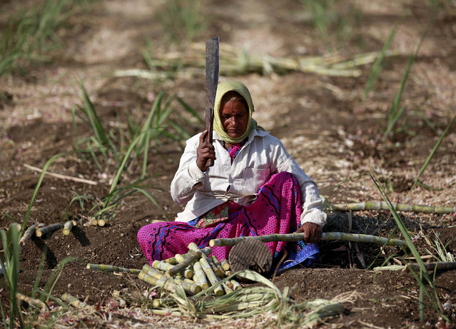 Parubai Govind Pawar, a 55-year-old female worker cuts sugarcane in a field in Degaon village in Solapur, in the western state of Maharashtra, India December 18, 2015. (Photo by Danish Siddiqui/Reuters)