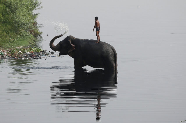 A mahout rides his elephant in the Yamuna river on a hot summer day in New Delhi, India May 24, 2018. (Photo by Adnan Abidi/Reuters)