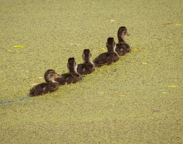 Ducklings swim on the green surface of a small lake near the base of the German national soccer team during the 2018 soccer World Cup in Vatutinki near Moscow, Russia, Friday, June 15, 2018. (Photo by Michael Probst/AP Photo)