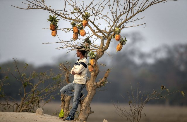 An Indian fruit vendor displays pineapple fruit on an unidentified tree to attract customers on the outskirts of Gauhati, India, Monday, February 1, 2021. India's government plans to increase spending on health care in a budget that promises extra help for weathering the coronavirus pandemic. Contrary to expectations, the proposed budget did not promise extra support for the country's farmers who have been protesting for more than two months against new agricultural laws which they say will favor large agribusiness and corporations. (Photo by Anupam Nath/AP Photo)