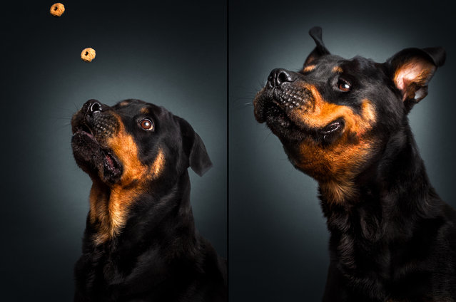 A rottweiler. Christian, 45, first became interested in photographing dogs while exploring a new camera he purchased in 2012. (Photo by Christian Vieler/Caters News)
