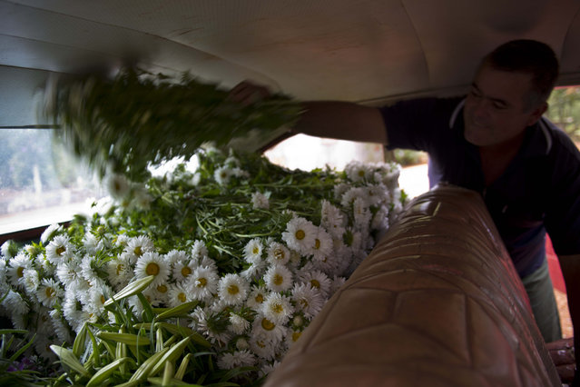 In this Thursday, January 29, 2015 photo, taxi driver Lazaro adds another bunch of daisies to the growing pile of fresh cut perennials in the backseat of his 1957 Buick, in San Antonio de los Banos, Cuba. Private flower vendor Yaima Gonzalez Matos pays Lazaro about $20 a day including gas to transport the flowers to the capital. (Photo by Ramon Espinosa/AP Photo)