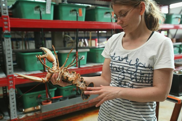 Isabel Schmalenbach, an environmental scientist with the Helgoland Biological Institute (Biologische Anstalt Helgoland), part of the Alfred Wegener Institute for Polar and Marine Research, holds an adult female European lobster (Homarus gammarus) whose eggs she used to breed baby lobsters at the institute on August 3, 2013 on Helgoland Island, Germany. (Photo by Sean Gallup/Getty Images)