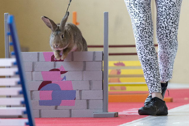 """Rabbit """"Achileus Golden Kids"""" with owner Lenka Spilerova from Czeck Republic jumps over an obstacle during the rabbit show jumping European Championship in Sempach, Switzerland, January 31, 2015. The show jumping is one of the contests during the 23rd Swiss rabbit exhibiton were some 2,000 breeders show their rabbits. (Photo by Peter Klaunzer/EPA)"""