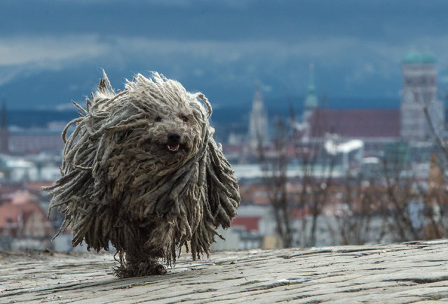 Seven year old Hungarian herding dog Derci runs along the Olympiaberg hill during stormy weather in Munich, southern Germany, Monday, January 4, 2016. (Photo by Matthias Balk/DPA via AP Photo)