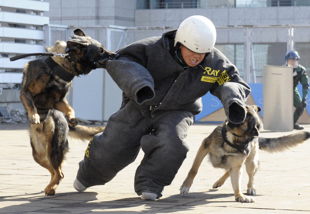 In this February 19, 2015 photo, police dogs bite the arm of a police officer during an anti-terrorism drill for the upcoming Tokyo Marathon, at the Tokyo Metropolitan Police headquarters in Tokyo. Organizers of the Feb. 22 marathon have promised increased security following the slaying of two Japanese hostages by the Islamic State group. (Photo by AP Photo/Kyodo News)