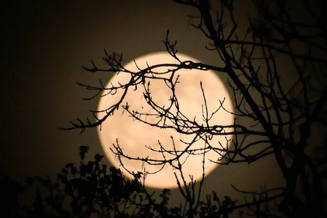 The pink super moon high in the skies over the copse in Dunsden, UK on April 26, 2021. It is named after phlox, the pink flowers that bloom in spring, is also a Super Moon. Other names for this Full Moon are Sprouting Grass Moon, Fish Moon, Hare Moon, Egg Moon, and Paschal Moon. (Photo by Geoffrey Swaine/Rex Features/Shutterstock)