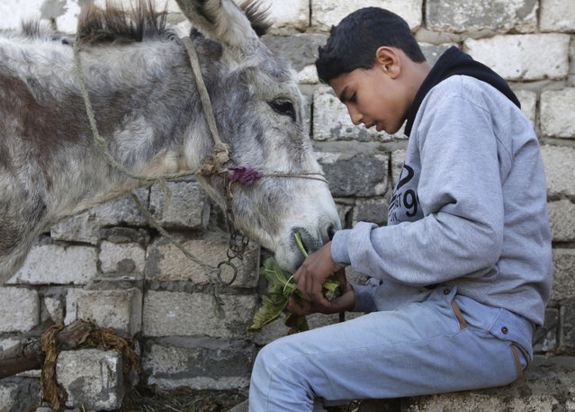 In this Friday, February 5, 2016 picture, Egyptian farmer Ahmed Ayman, 14, feeds his donkey before they start their daily jump training in the Nile Delta village of Al-Arid about 150 kilometers north of Cairo, Egypt. Donkeys are a fixture of daily life in rural Egypt, where they are used for transportation or to haul goods, and can often be seen in Cairo and other major cities. But it's rare to see a donkey gallop, much less go airborne. (Photo by Amr Nabil/AP Photo)