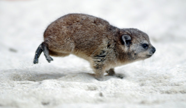 Rock hyrax. (Photo by In Cherl Kim)