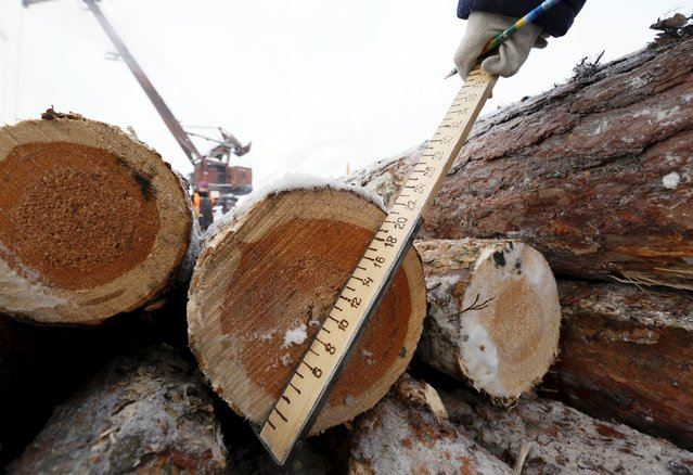 An employee measures the trunk of logs which were transported from a forest, at the Novoyeniseisk wood processing plant, with the air temperature at about minus 20 degrees Celsius (minus 4 degrees Fahrenheit), in the town of Lesosibirsk in Krasnoyarsk Region, Siberia, Russia, February 16, 2016. (Photo by Ilya Naymushin/Reuters)