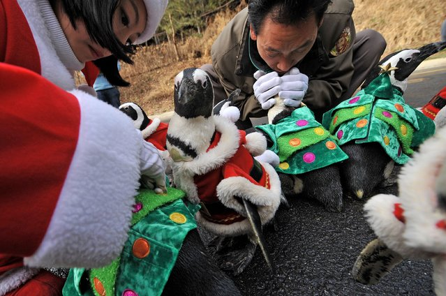 Trainers dress penguins in various Christmas costumes before they are paraded at an amusement park for a promotional event in Yongin, south of Seoul, on December 18, 2013. (Photo by Woohae Cho/AFP Photo)