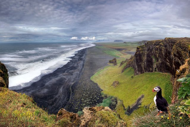A solitary puffin lives life on the edge as it stares out at a coastal landscape from its cliff top perch on the volcanic peninsula of Dyrholaey, in southern Iceland. (Photo by Christian Schweiger/Solent News & Photo Agency)