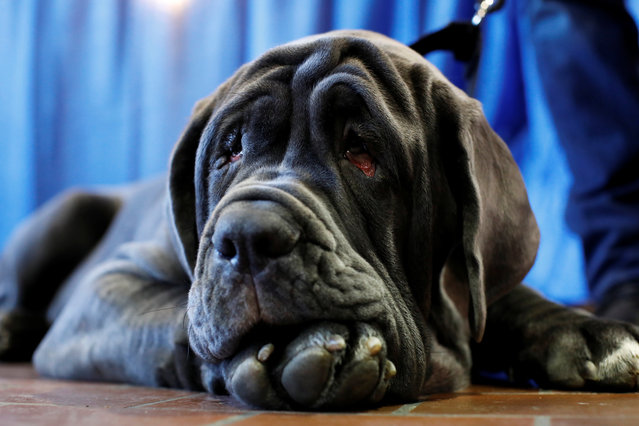 Romeo, the Neapolitan Mastiff, rests during the AKC Meet the Breeds event ahead of the 143rd Westminster Kennel Club Dog Show in New York, February 9, 2019. (Photo by Andrew Kelly/Reuters)