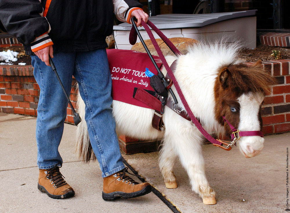 Guide Horse: Tiny Horse Keeps Eyes On Big Responsibility