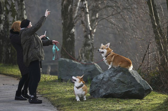 Women photograph Corgis as they arrive for the second day of the Crufts Dog Show in Birmingham, Britain March 11, 2016. (Photo by Darren Staples/Reuters)