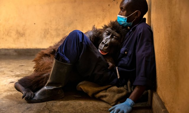 Orphaned mountain gorilla, Ndakasi, lies in the arms of her caregiver, Andre Bauma, on September 21, 2021 shortly before her death, which the park confirmed on September 26. Mr Bauma and others at the Senkwekwe Mountain Gorilla Center had cared for Ndakasi and other orphans for 13 years. Ndakasi had suffered a prolonged illness prior to her death. This is the only mountain gorilla orphanage in the world and takes in mountain gorilla orphans who have lost their families to poaching or conflict. A number of the orphans here were rescued from sales by poachers in sting operations carried out by Congolese National Park Authority (ICCN) rangers. (Photo by Brent Stirton/Getty Images)