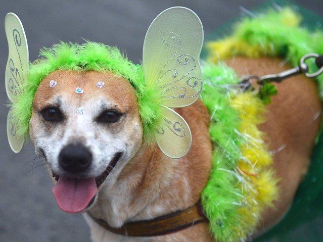 """A dog takes part in the animals' carnival parade """"Blocao"""", at Copacabana in Rio de Janeiro. (Photo by Christophe Simon/AFP Photo)"""