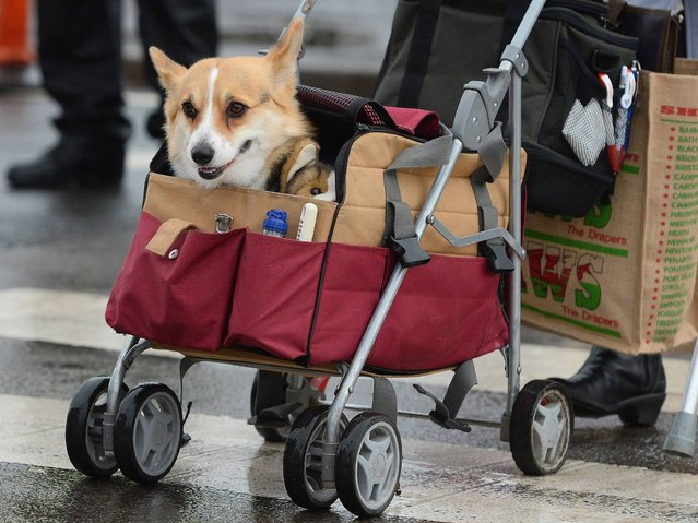 An owner with his dog in a buggy arrives for the first day of Crufts dog show in Birmingham. (Photo by Andrew Yates/AFP Photo)