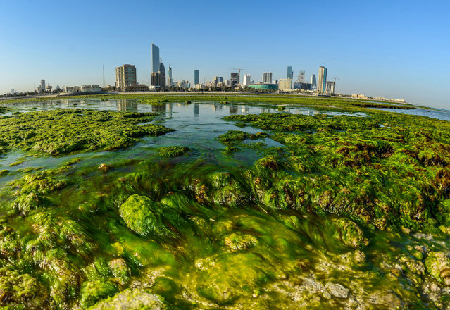 Green algae sits on a beach in Kuwait City, Kuwait, 28 February 2017. The formation of green algae is a normal phenomenon that occurs every year at the shores of Kuwait. (Photo by Raed Qutena/EPA)