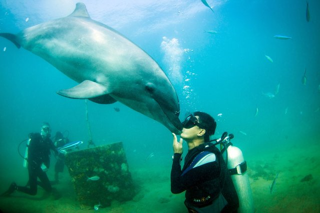 This is the incredible moment a friendly dolphin planted an affectionate kiss on a lucky diver. (Photo by Caters News)
