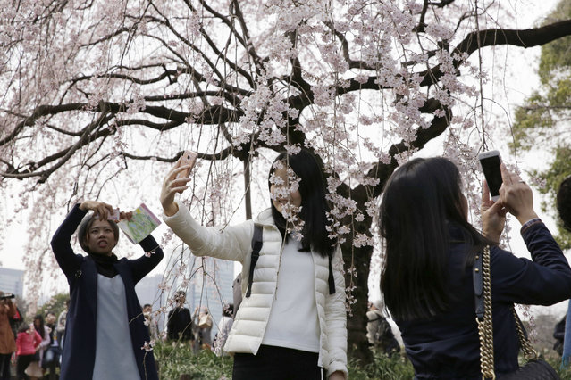 Visitors take pictures of blooming cherry blossoms at a park in Tokyo, Tuesday, March 28, 2017. Cherry blossom season has officially kicked off in Tokyo, marking the beginning of spring for the Japanese. (Photo by Eugene Hoshiko/AP Photo)