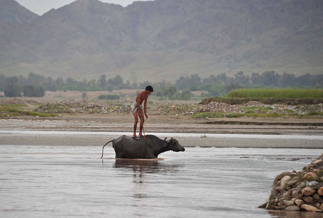 An Afghan youth stands on top of a buffalo as they cross a river on the outskirts of Jalalabad on April 21, 2014. Afghanistan remains at war, with civilians among the hardest hit as the Taliban wage an increasingly bloody insurgency against the government. (Photo by Noorullah Shirzada/AFP Photo)
