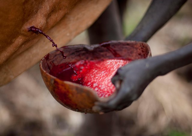 It is believed that drinking the blood of the cattle will help fighters get stronger because the blood contains vitamins. (Photo by Eric Lafforgue/Exclusivepix Media)