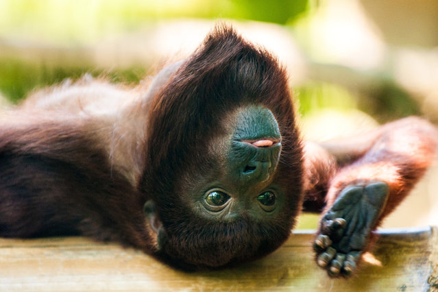 Red howler monkey Taima plays in the  enclosure in  the zoo in Berlin, Germany, Tuesday May 20, 2014. (Photo by Hauke-Christian Dittrich/AP Photo/DPA)