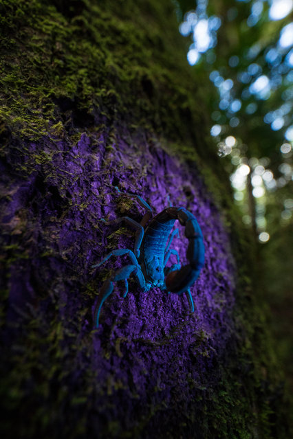 Up Close and Personal category winner: Fluorescence by Roberto García Roa (University of Valencia), taken in Madagascar. A small scorpion glows under UV light. The function of fluorescence is still unclear: it is a biological phenomenon that ranges across kingdoms, from bacteria to animals. (Photo by Roberto García Roa/2019 British Ecological Society Photography Competition)