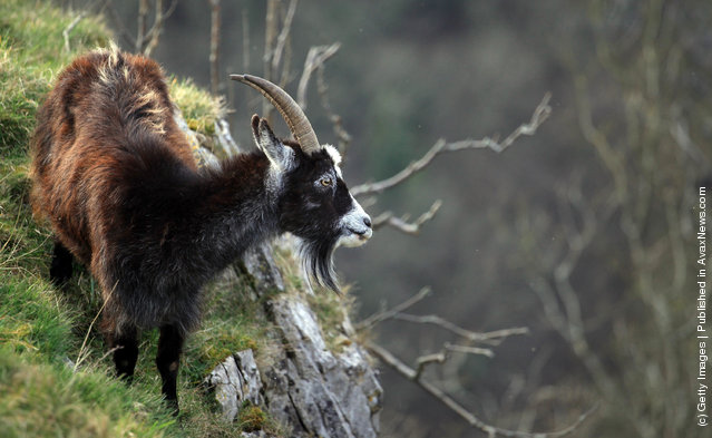 A goat looks out as it grazes on plants growing on Cheddar Gorge