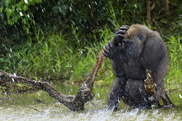 """""""Los ultimos gorilas de llanura"""". El gorila de llanura habita en lo más profundo de la selva tropical africana. Un gigante en peligro de extinción, debido al comercio ilegal de su carne. Photo location: Gabon. (Photo and caption by José Mingorance/National Geographic Photo Contest)"""