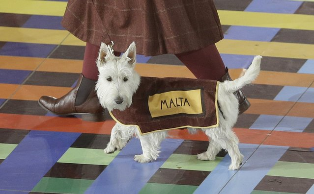 A Scottish Terrier wearing a vest with the team name of Malta is led around the arena ahead of the team during the opening ceremony for the Commonwealth Games 2014 in Glasgow, Scotland, Wednesday July 23, 2014. (Photo by Kirsty Wigglesworth/AP Photo)