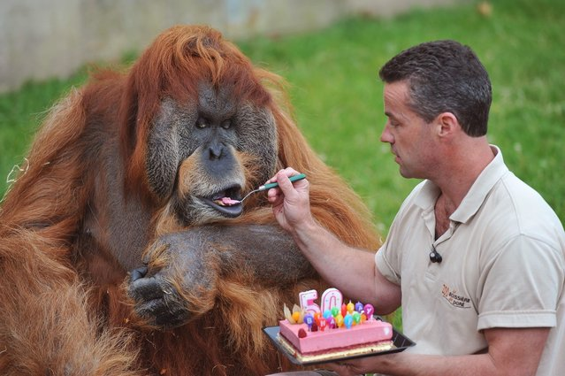 The Oldest Captive Orangutan in the World