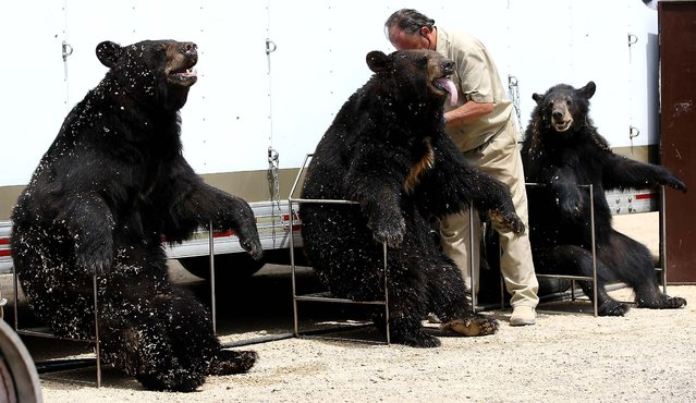 Bob Steele, of Jefferson, Texas, positions his bears during The Great Bear Show at the Dubuque (Iowa) County Fair on July 25, 2012. (Photo by Jessica Reilly/Telegraph Herald)