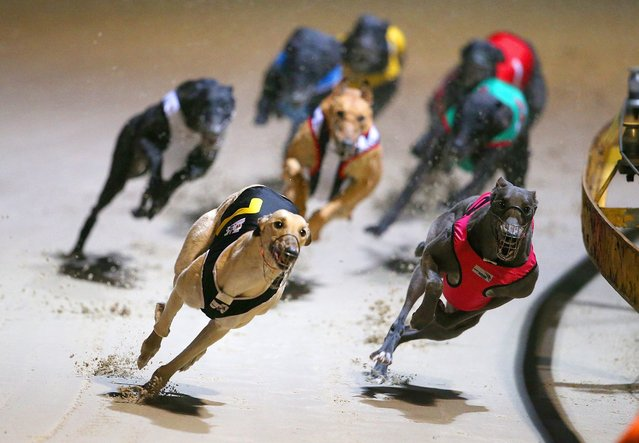 "A picture made available on 14 July 2016 shows Greyhound dogs racing at the Wentworth Park Stadium in Sydney, New South Wales (NSW), Australia, 13 July 2016. Greyhound racing has returned to Sydney's Wentworth Park and other NSW tracks for the first time since the state government announced plans to ban it. NSW Premier Mike Baird announced last week plans to shut down the sport in NSW following a Special Commission of Inquiry report that found ""chilling"" evidence of systemic animal cruelty within the industry. (Photo by David Moir/EPA)"