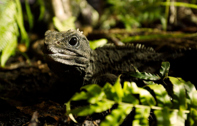 The sole surviving member of an ancient lineage of reptiles which flourished on Earth during the Jurassic period, tuatara are uniquely specialised to the temperate climate of New Zealand. (Photo by Claire Thompson/BBC Pictures/The Guardian)