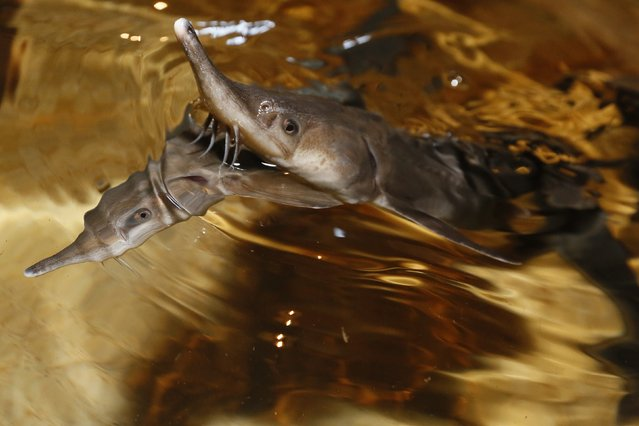 Sterlet, a breed of sturgeon, swim in a tank at the Beloyarsky state fish hatchery in the village of Izykhskiye Kopi in Khakassia region, August 18, 2014. The hatchery was built to replace fish stocks in the Yenisei River depleted after construction of a hydro-electric dam, which blocked their migration route. The hatchlings are loaded into container trucks, and then released back into the Yenisei river about 800 km downstream from the hatchery. (Photo by Ilya Naymushin/Reuters)