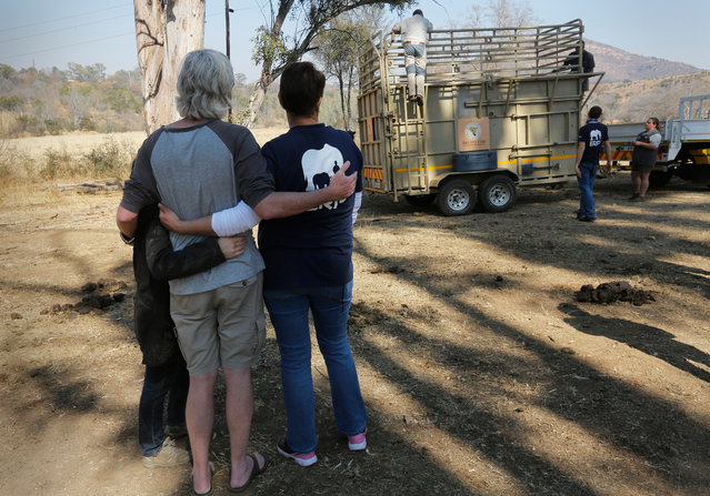 Supporters of the Elephant and Rhino People (ERP) hug each other as the eight-years-old White Rhino Seha is relocated to a better location, Johannesburg, South Africa, 28 July 2017. South Africa has the world's largest population of Rhinos in the world. However over the past nine years a staggering 6,115 rhinos have been killed by poachers seeking their horns for sale to the lucrative traditional healing market in the Far East. In a ground-breaking and world-leading initiative. (Photo by Kim Ludbrook/EPA/EFE)