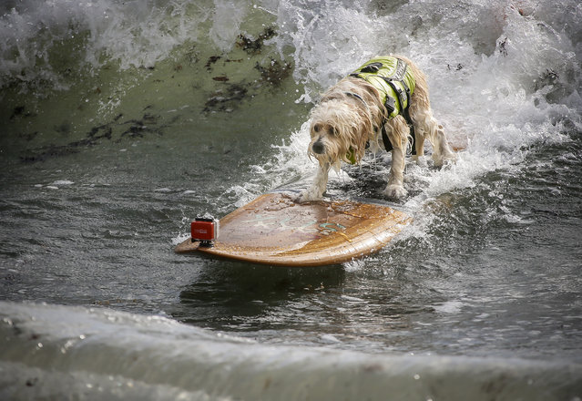 "Waldo, a 6-year-old Tibetan Terrier belonging to Susan and Mike Leverette of Sebastian, competes in the third heat of the medium dogs division at the Hang 20 Surf Dog Classic at Carlin Park in Jupiter Saturday, August 29, 2015. ""The waves are a little bigger than we are used to"", said Susan. (Photo by Bruce R. Bennett/The Palm Beach Post)"