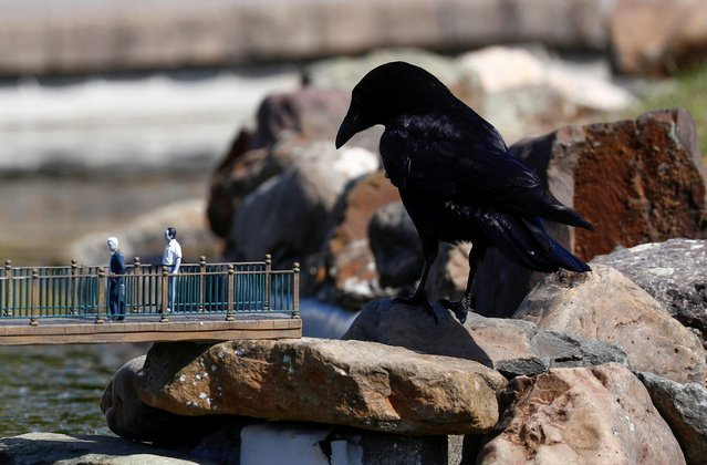 A crow is seen near models during the reopening of 'mini-Europe' theme park where people can wonder across small scale models of European capitals landmarks as Belgium began easing lockdown restrictions amid the coronavirus disease (COVID-19) outbreak, in Brussels, Belgium, May 18, 2020. (Photo by Francois Lenoir/Reuters)